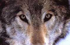 gli-occhi-del-lupo